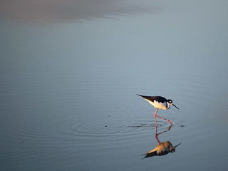 Searching (Black-necked Stilt)