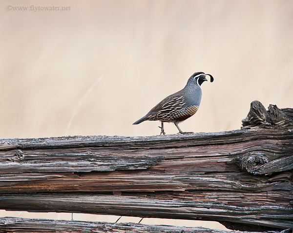 Gambel's Quail - Rural - Old Fence