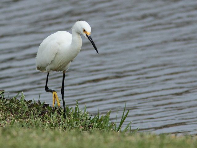 Snowy Egret 2-20111129