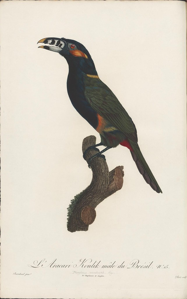 hand-coloured engraving of toucan