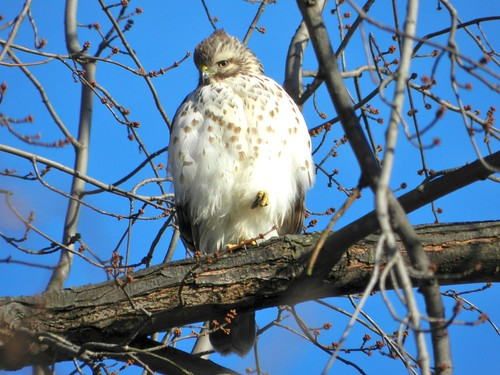 Juv. Red-shouldered Hawk