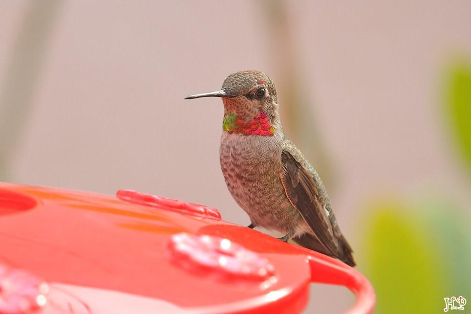 Anna's Hummingbird 120211-9