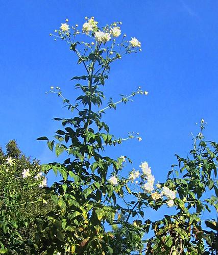 Tree Dahlias 2