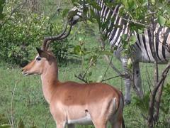 animal, antelope, mammal, horn, fauna, impala, gazelle, wildlife,