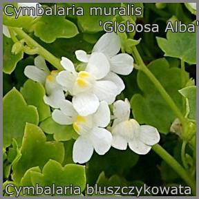 Cymbalaria muralis 'Globosa Alba' - Cymbalaria bluszczykowata