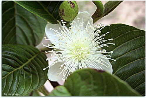 Quinta-flor de goiabeira (Explore)