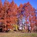 真っ赤な並木