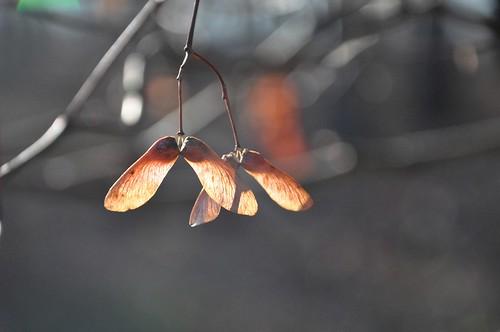 autumn sunlight fall sunshine backlight forest woods bokeh seeds momiji japanesemaple hanging glowing helicopters 紅葉 acerpalmatum backlighting mapleseeds irohamomiji イロハモミジ