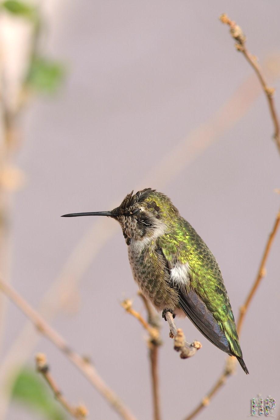 Anna's Hummingbird 121511-10-1