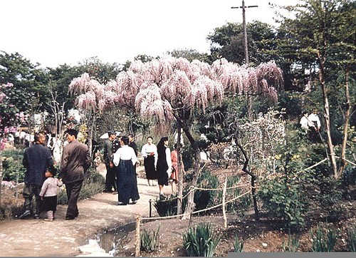 Gwangju cherry blossoms 1955