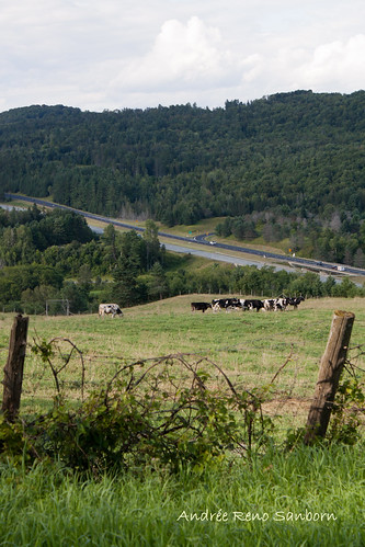 A Herd of Cows in Lyndonville-3.jpg