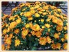 Chrysanthemum hybrid (Mums) with tangerine and yellow flowers at a garden centre