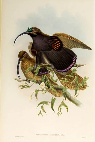 024-Ave del Paraiso de Albertis-The birds of New Guinea and the adjacent Papuan islands..1875-1888-Vol I-Gould y Sharpe