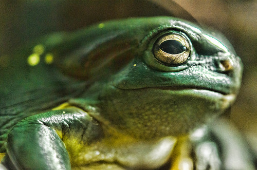 Magnificent Green Tree Frog