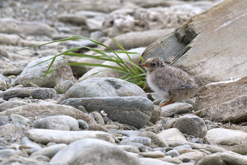 Black Fronted Tern Chick