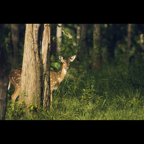a bold and a beautiful deer...