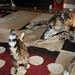 Pixel, the bengal kitten, and Freyja, the greyhound