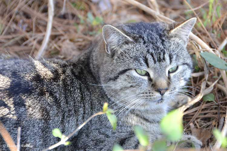 Nice stray tom cat, photo by Elizabeth Ruffing
