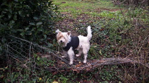 Parson Russel terrier and coat