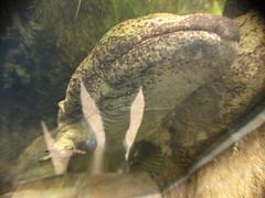 Ocean Park Salamander