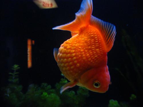 Ocean Park Goldfish