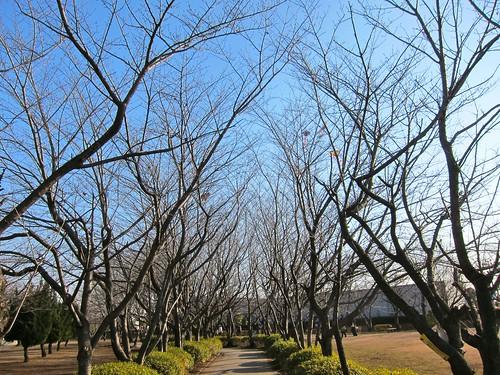 冬の桜並木