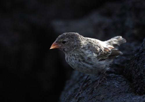 小嘴地雀,達爾文雀的其中一種。(照片:Wildlife Travel。)