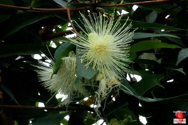 Flora Asiatis