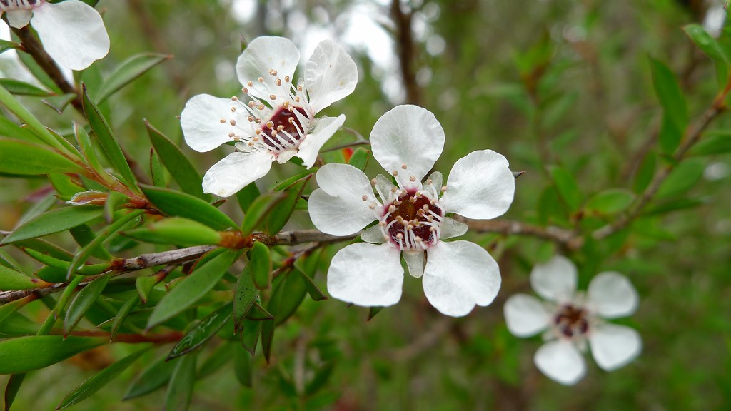 Common Tea-tree flower