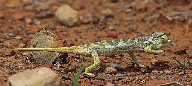 Flap-necked Chameleon, Luita, DRC