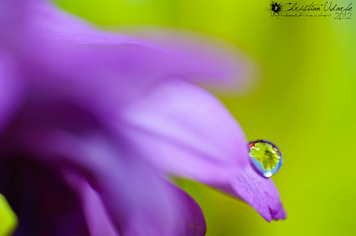 Dew Upon the Flower (Macro)