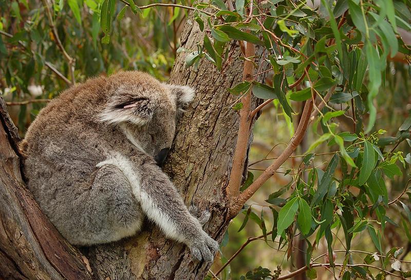 _koala_4_