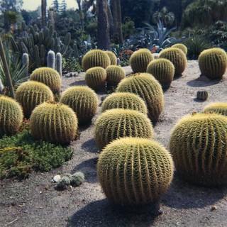 Echinocactus at Huntington Gardens