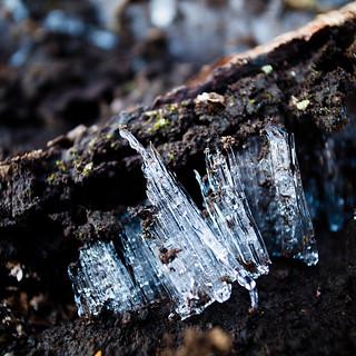 Ice Fungi, Ice Needles しもばしら【霜柱】02