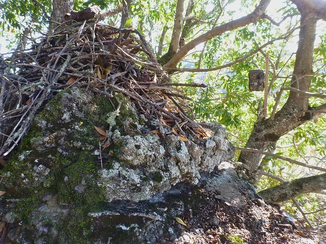 live oak snips
