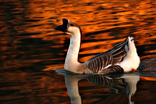 (a goose) by larcher