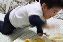 布団の上で遊ぶとらちゃん(2012/1/24)