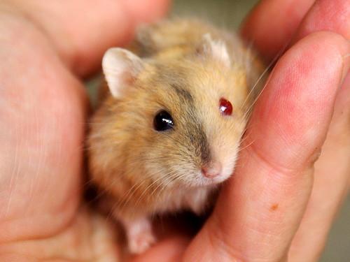 Brindle argente hamster (odd eyed)