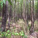 Eucalyptus urophylla stand