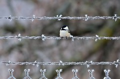 Chickadee on Frosty Wire D7K_5747 by Mully410 * Images