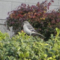 mockingbird on a bush
