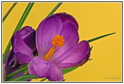 flowers colour detail macro beauty closeup heart crocus pistil stamen wonderfulworldofflowers