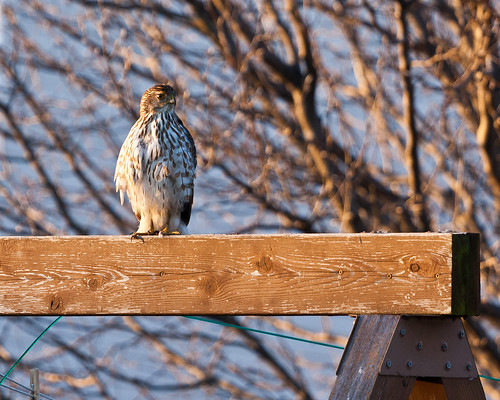 Backyard Hawk by matneym