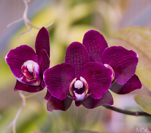 Purple Plus Orchids