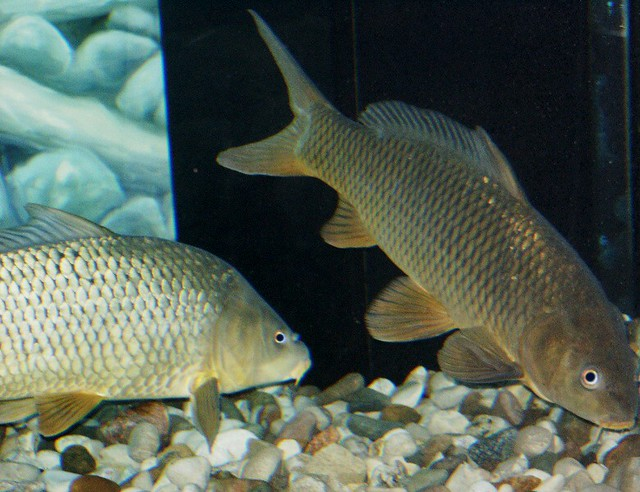 Cyprinus definition meaning for What does carp mean