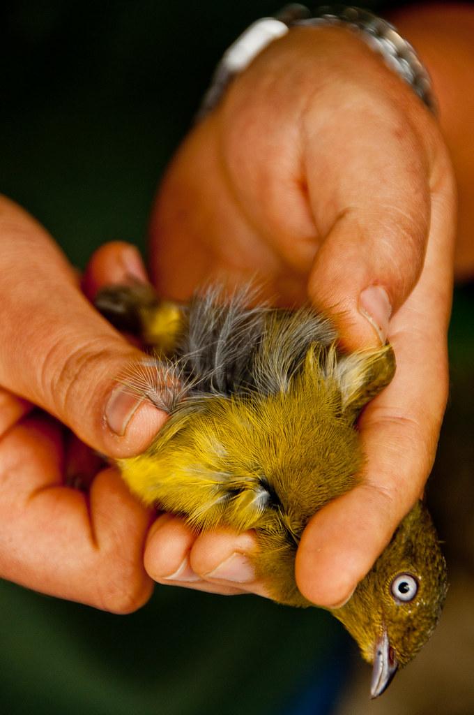 Jason.Kopp.11.BirdBanding.Tambopata,Peru.jpg