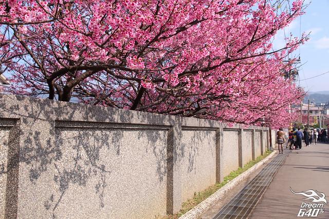 03-台北-平菁街42巷-櫻花