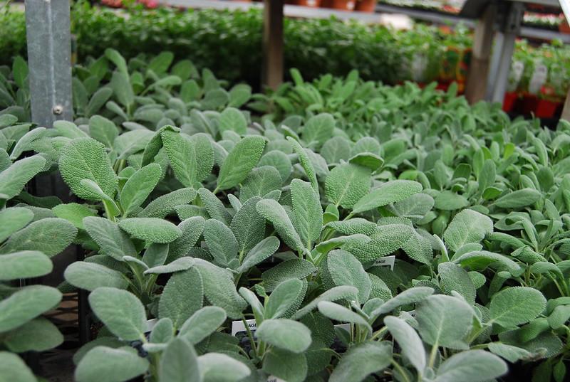 Herbs - Sage