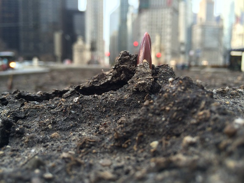 Start of spring: tulips break ground on Michigan Avenue in Chicago