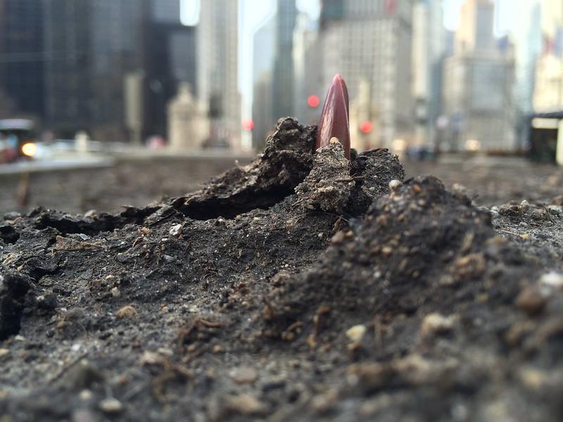 Start of spring: tulips break ground on Michigan Avenue in Chicago